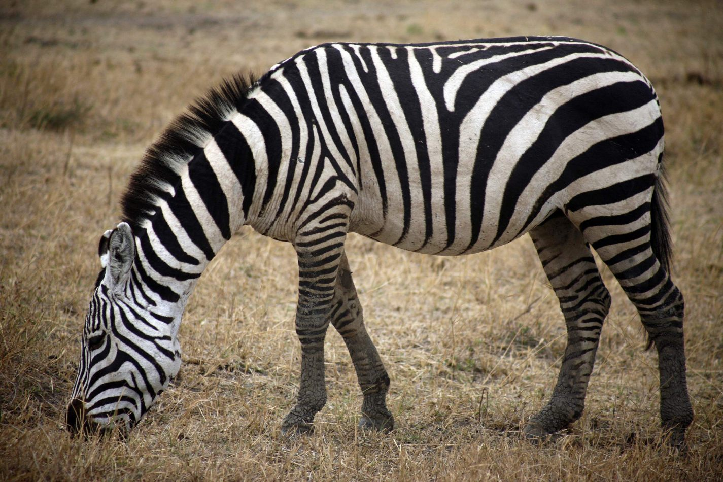 Anthony Ellis Photography: Mzungu - Grazing Zebra