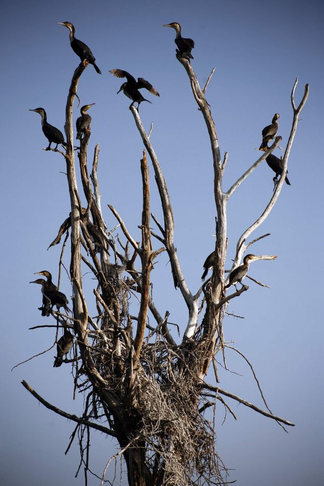 Anthony Ellis Photography: Luga Moja Haitoshi - Great Cormorants