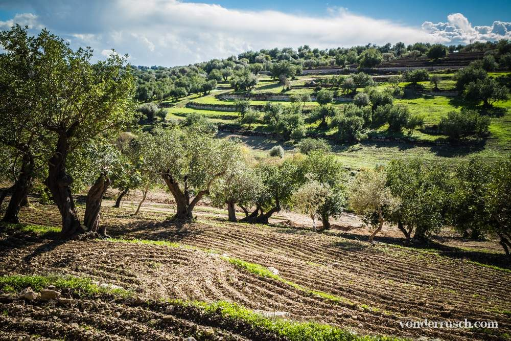 Olive Groves     Sicily Italy