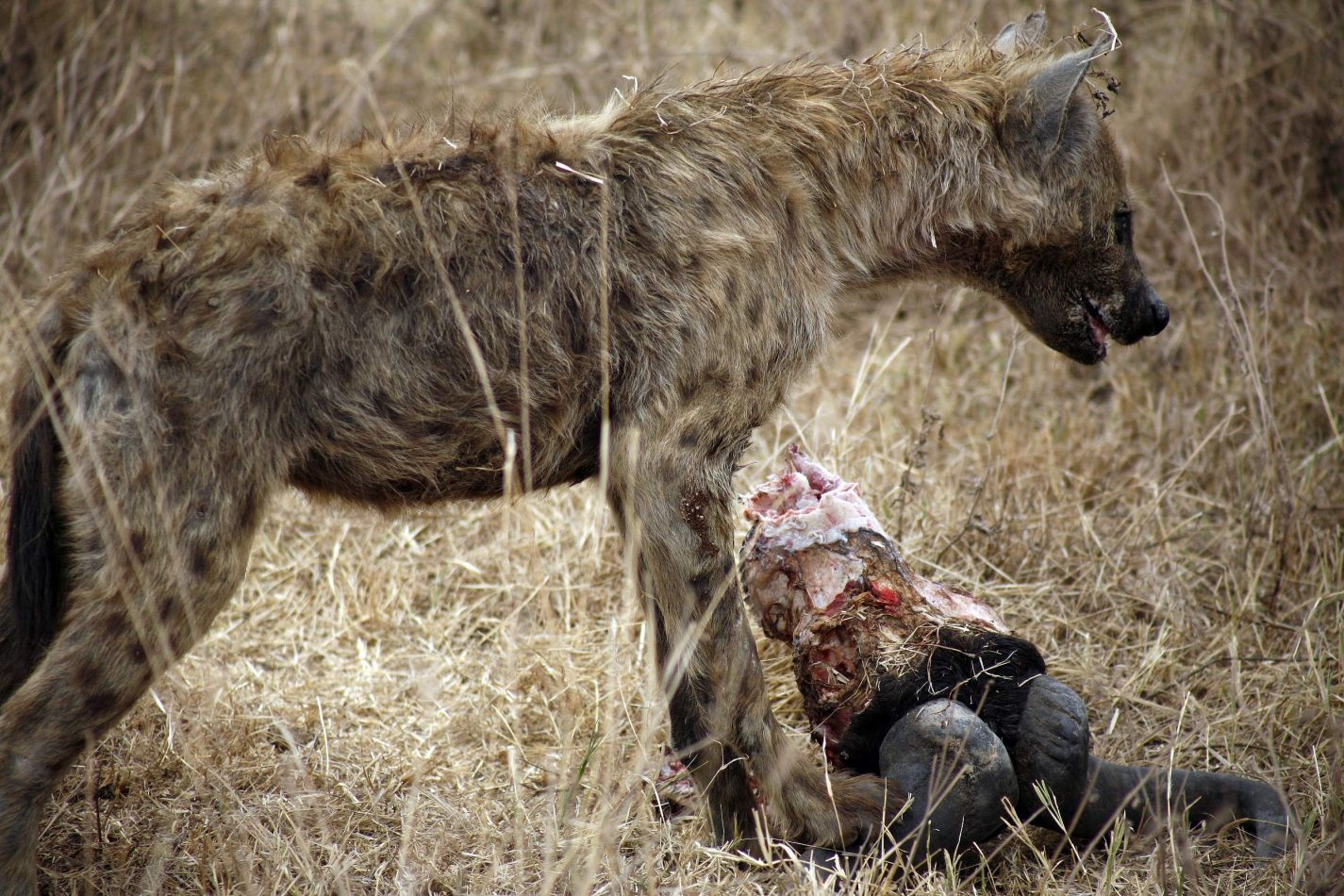 Anthony Ellis Photography: Mzungu - Hyena Feeding