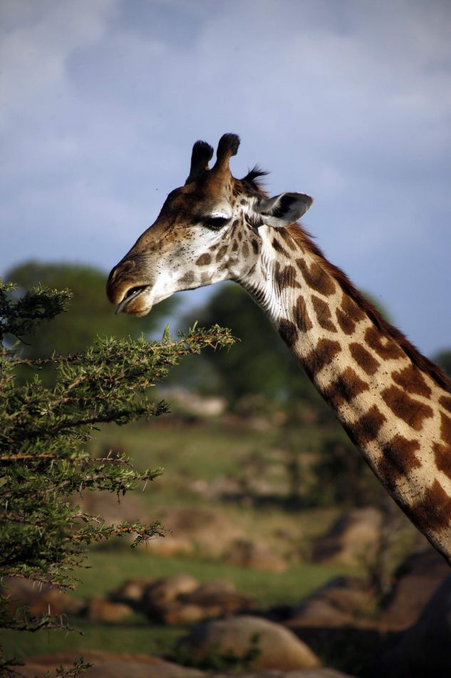 Anthony Ellis Photography: Mzungu - Giraffe Feeding