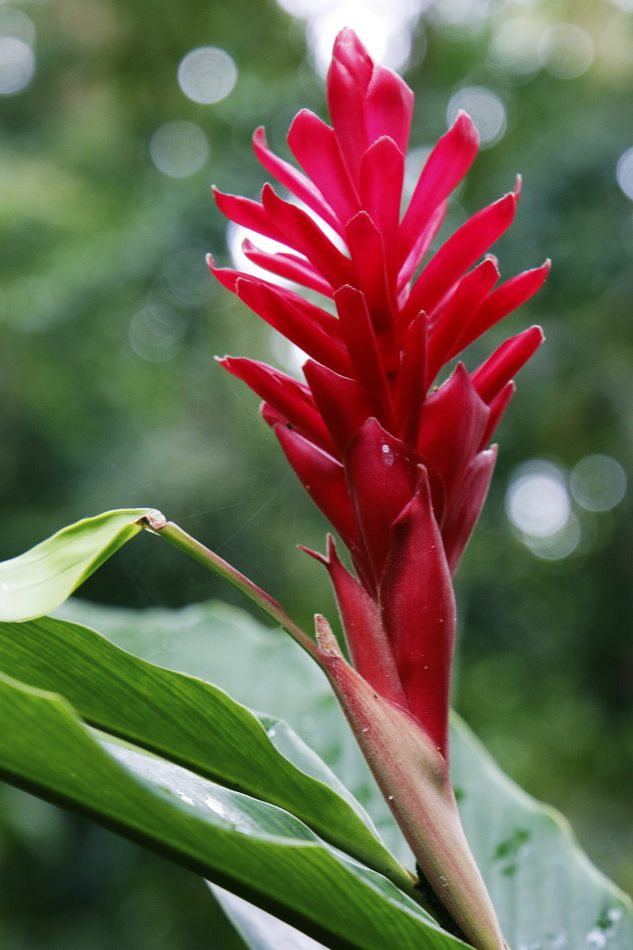 Anthony Ellis Photography: Small Sacrifices - Alpinia Purpurata