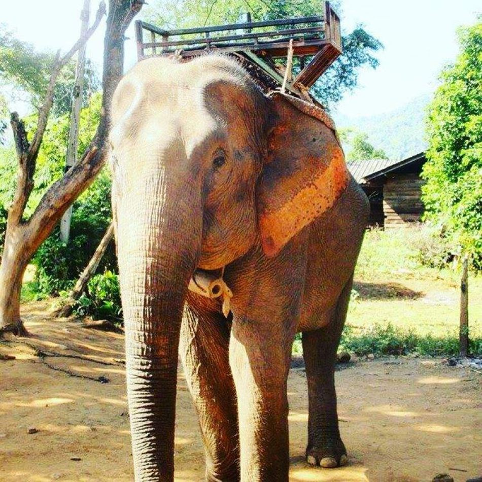 Hibiscus & Nomada : - - Elephant