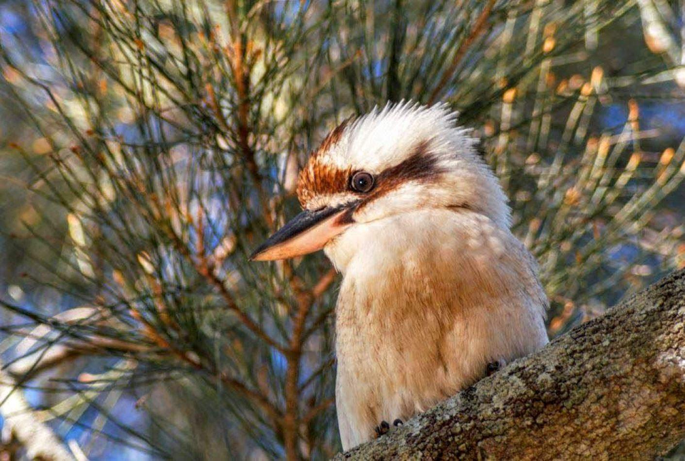 Hibiscus & Nomada : Australia - Kookaburra