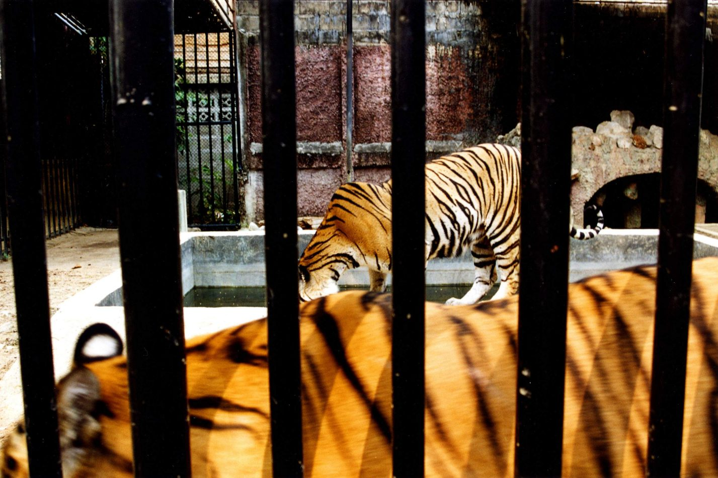 Anthony Ellis Photography: Caged Tiger - Bars and Tiger Stripes