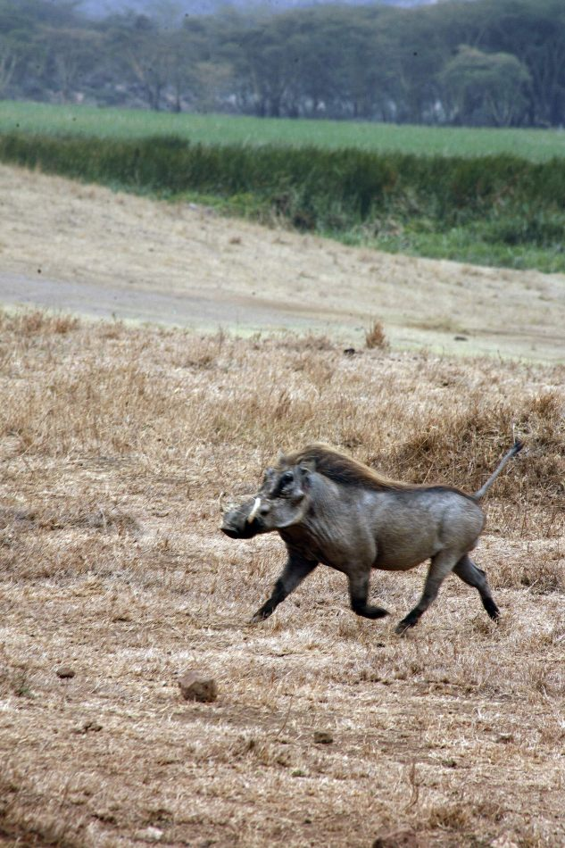 Anthony Ellis Photography: Mzungu - Warthog