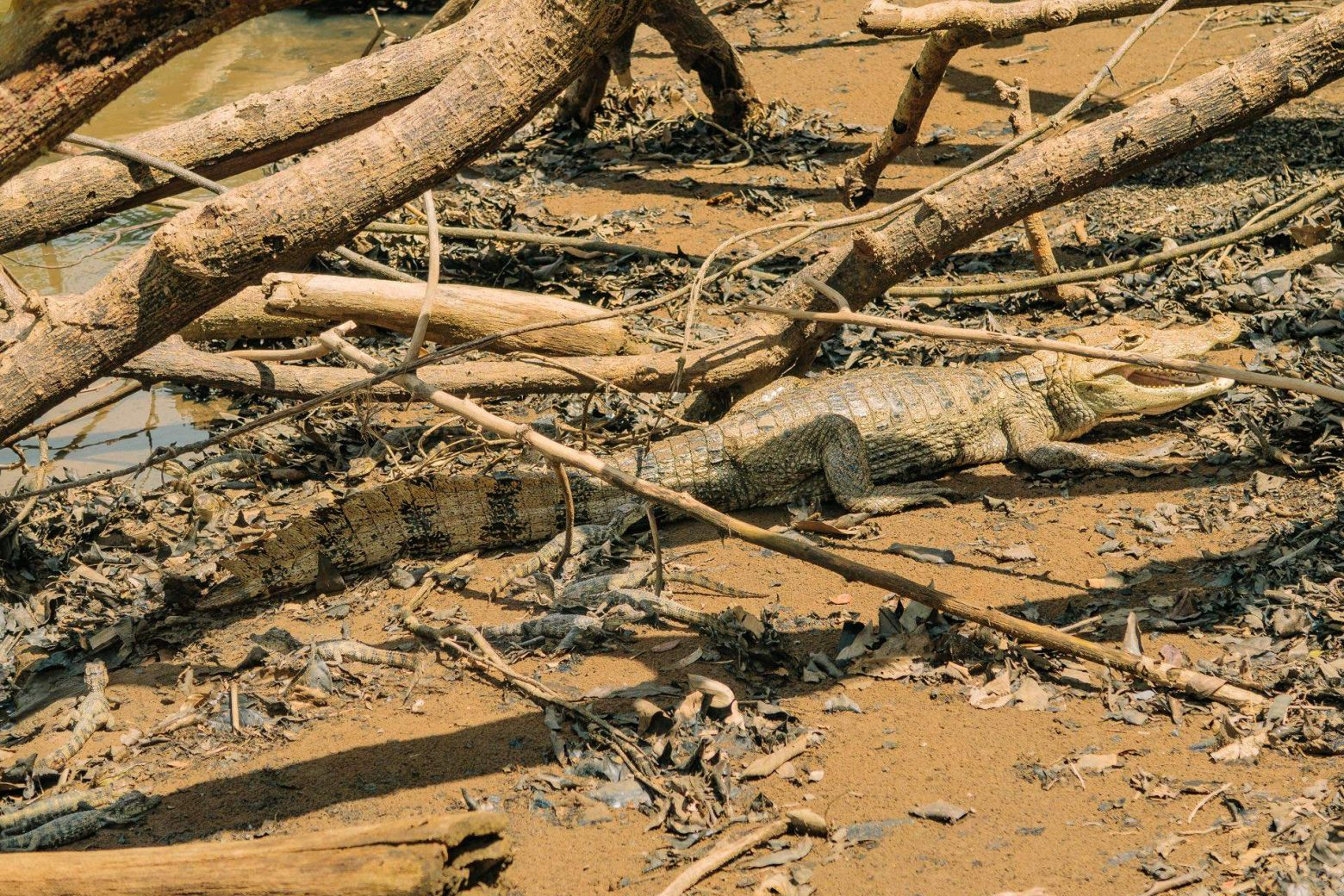 Krokodilfamilie beim Ca� o Negro