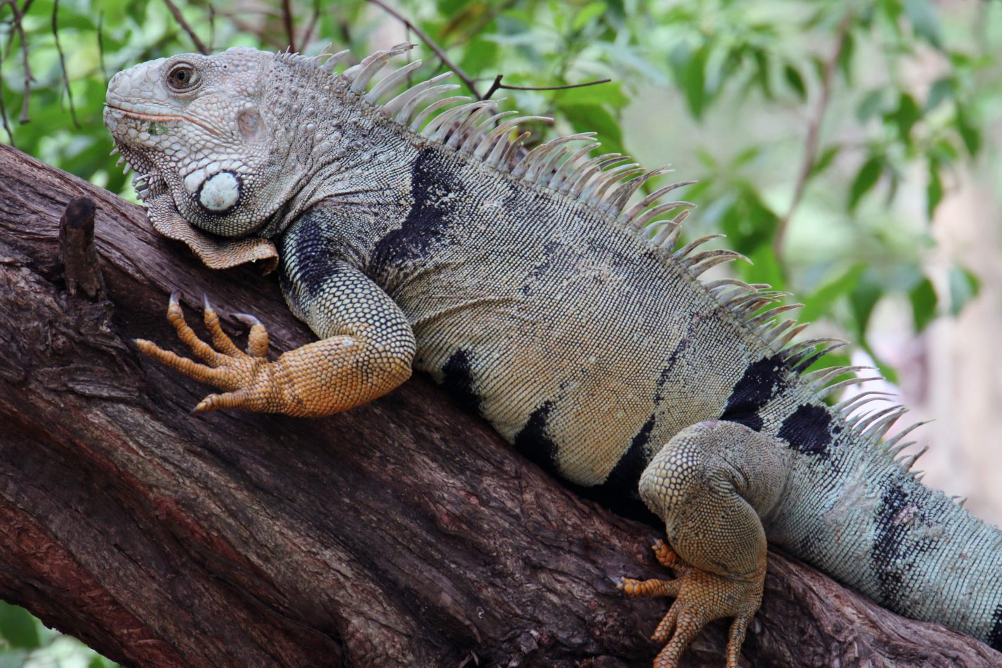 Anthony Ellis Photography: Antes del Refer� ndum - Iguana