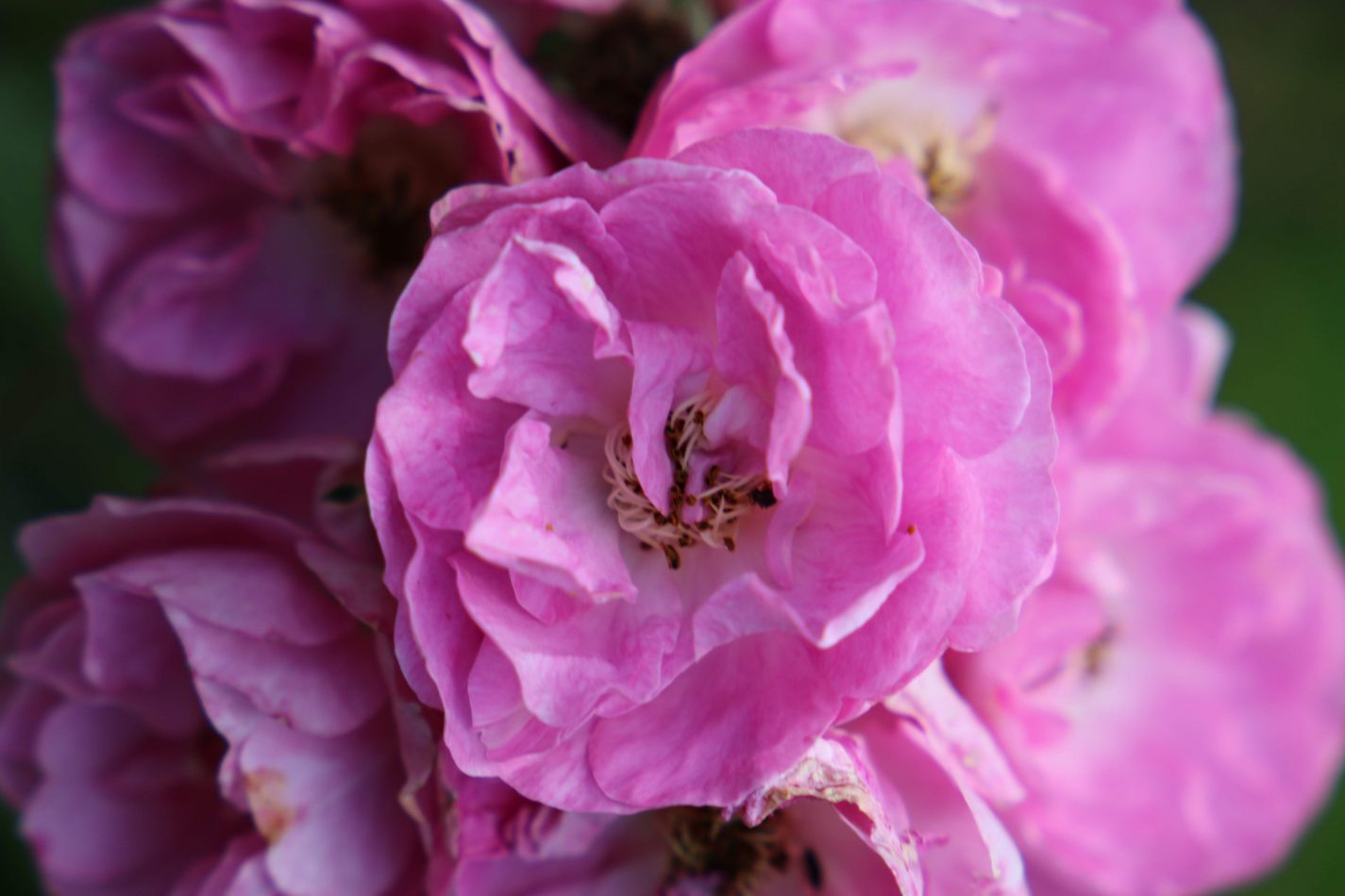 Anthony Ellis Photography: Luga Moja Haitoshi - Peonies