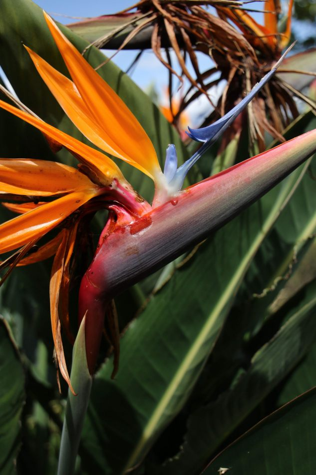 Anthony Ellis Photography: Antes del Refer� ndum - Birds of Paradise