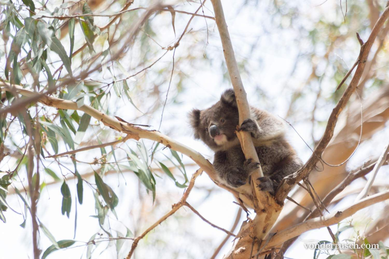 Koala Joey Hanging On     kangaroo Is Australia