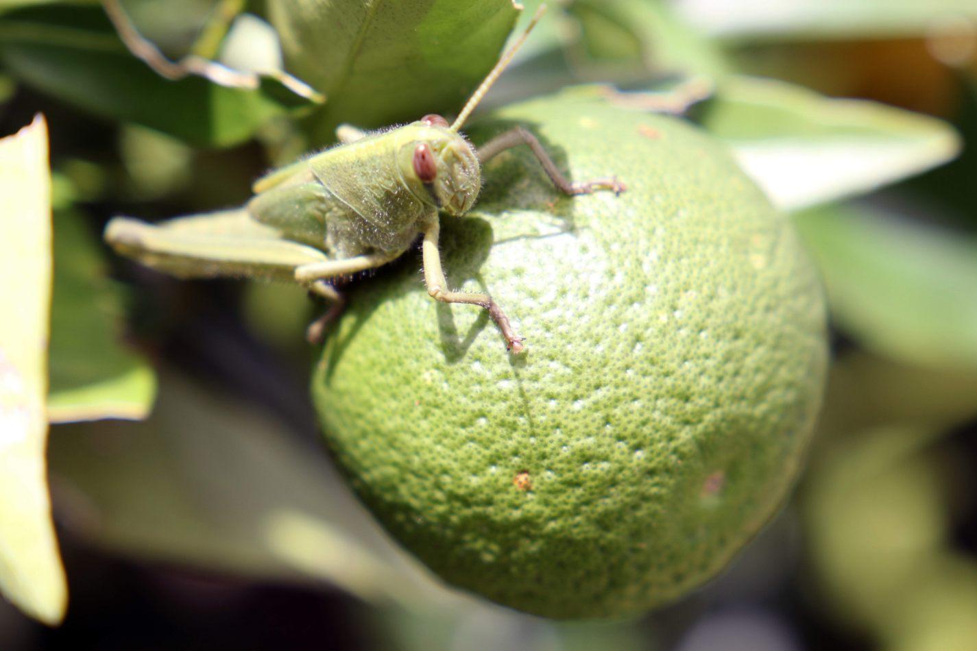 Anthony Ellis Photography: Antes del Refer� ndum - Grasshopper on a Lime