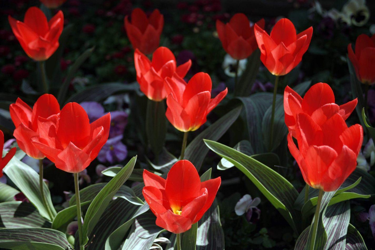 Anthony Ellis Photography: Symphonia - Opening Tulips