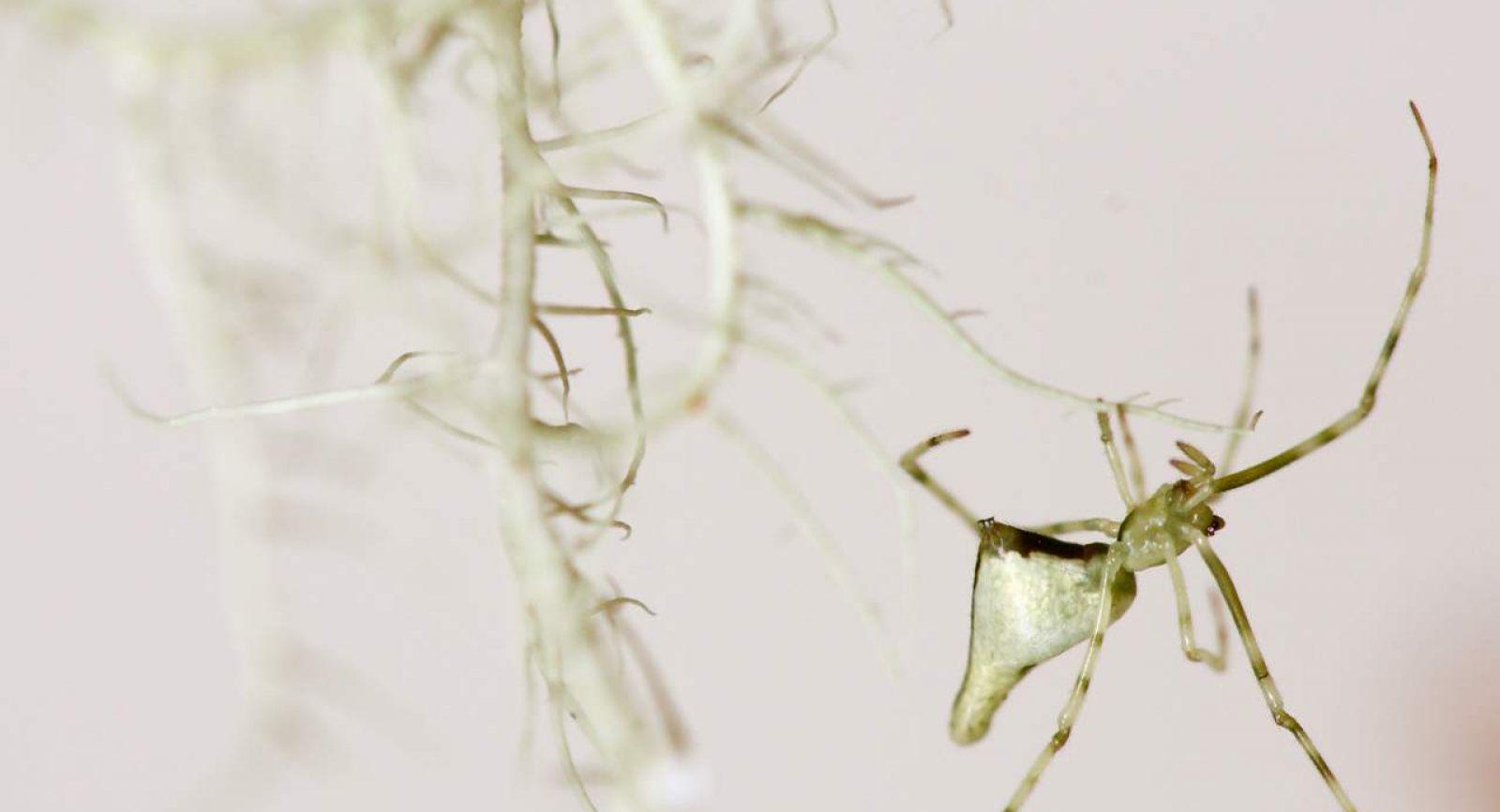 Ariamnes spiders