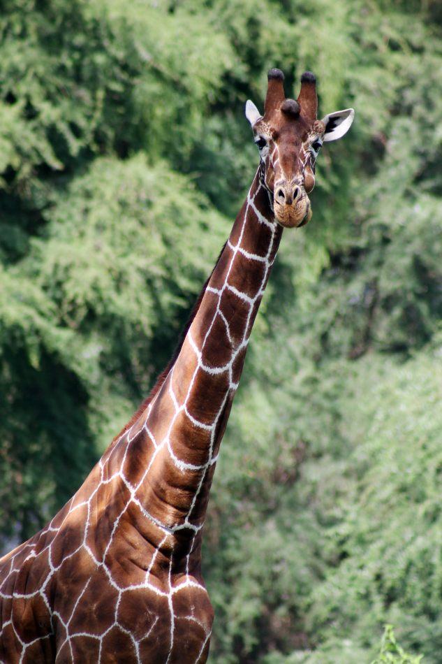 Anthony Ellis Photography: Luga Moja Haitoshi - Reticulated Giraffe