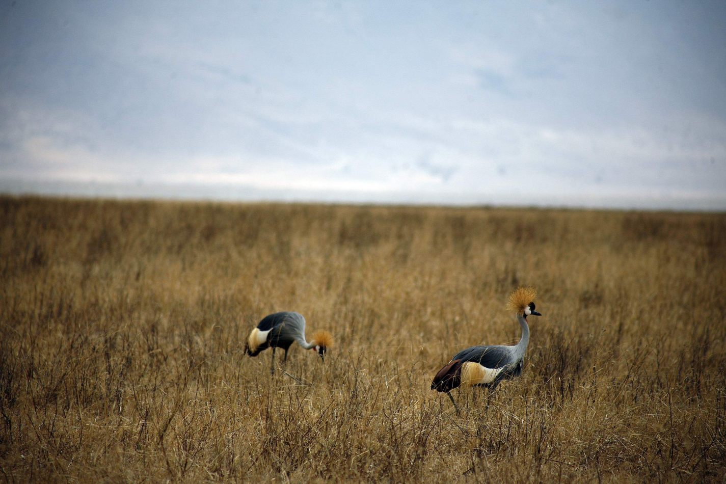 Anthony Ellis Photography: Mzungu - Grey Crested Cranes
