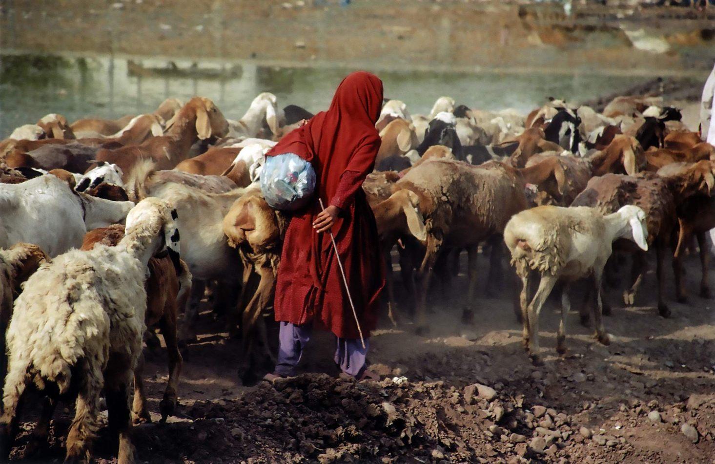 Anthony Ellis Photography: Zindabad - Red Shepherd