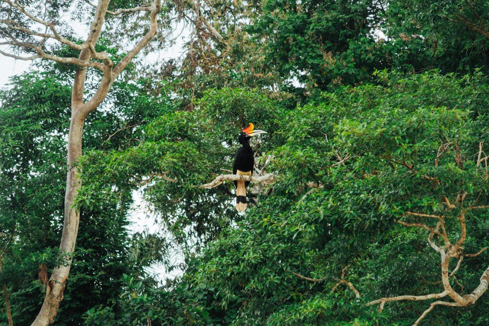 Nashornv� gel  das Maskottchen Borneos