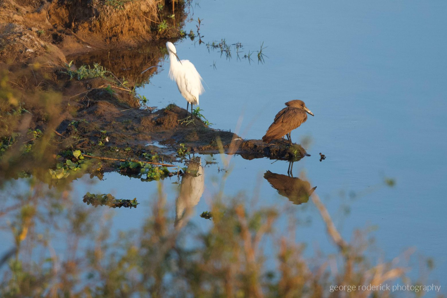 Little egret  Hamerkop Scopus