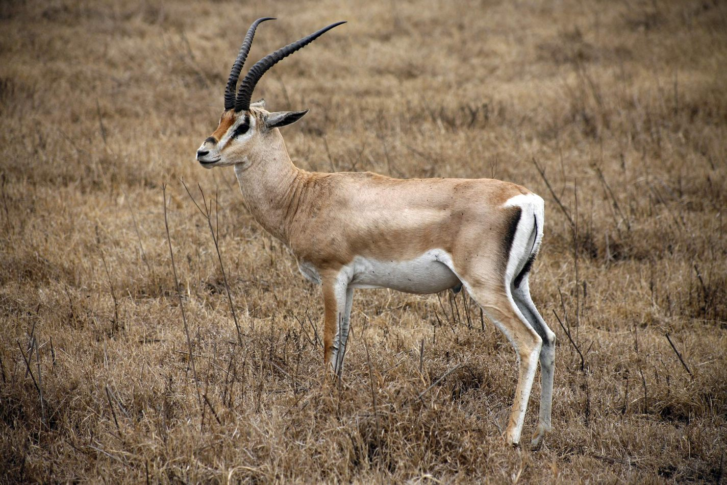 Anthony Ellis Photography: Mzungu - Thomson's Gazelle