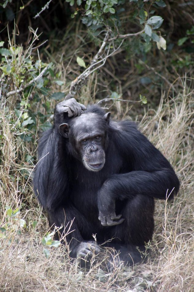 Anthony Ellis Photography: Luga Moja Haitoshi - Chimpansee