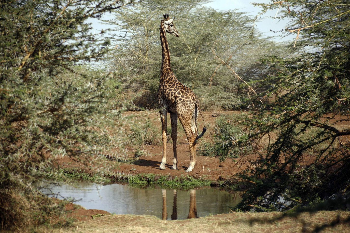 Anthony Ellis Photography: Mzungu - Giraffe