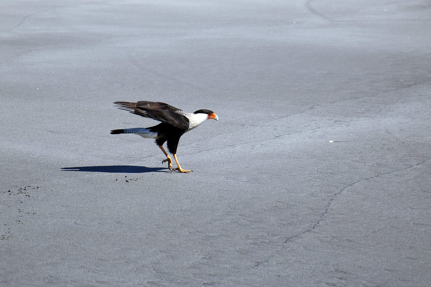 Anthony Ellis Photography: Small Sacrifices - Caracara