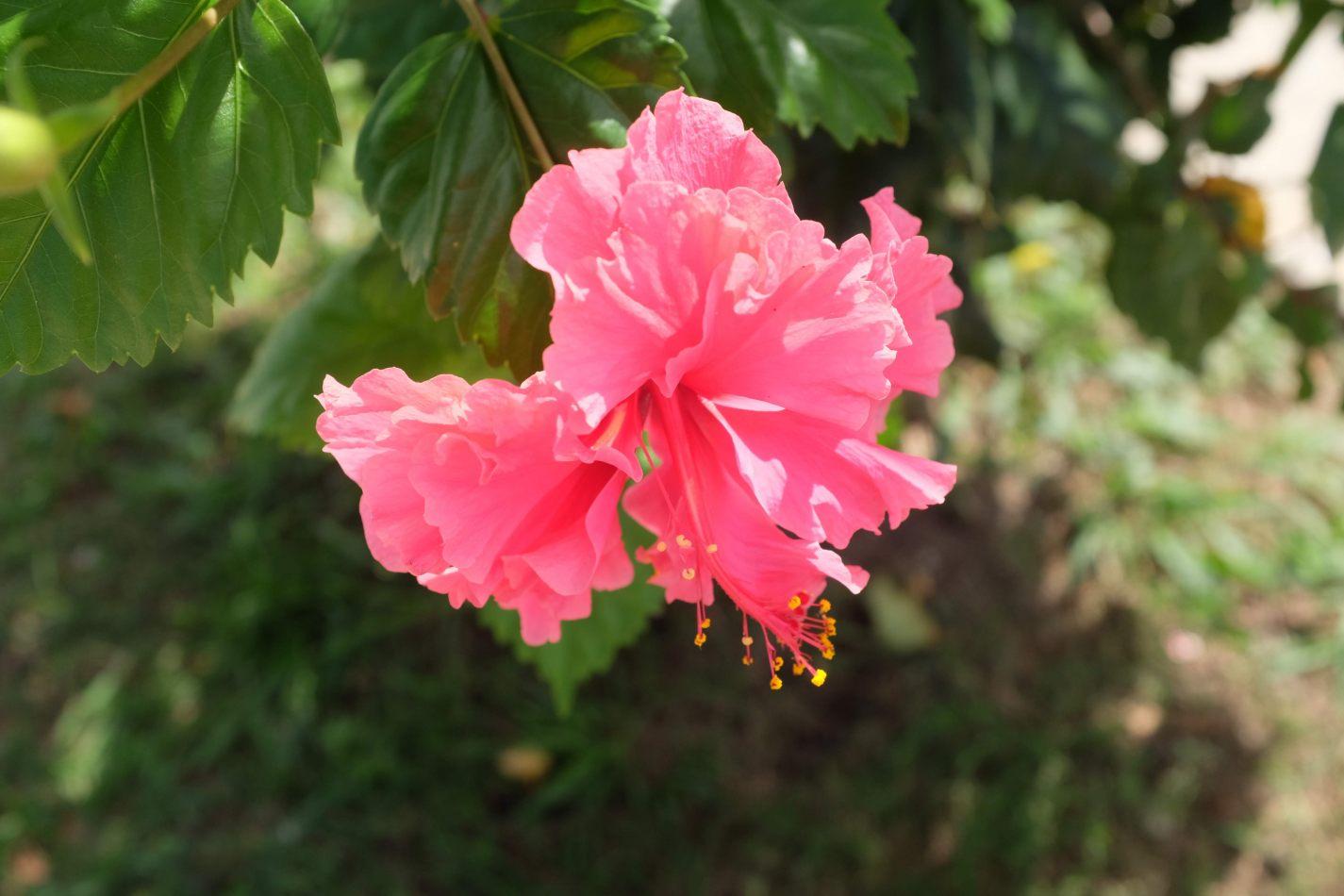 Hibiscus & Nomada : -