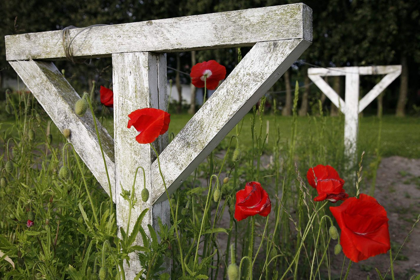 Anthony Ellis Photography: Silent Afternoons - Poppies and White Wood