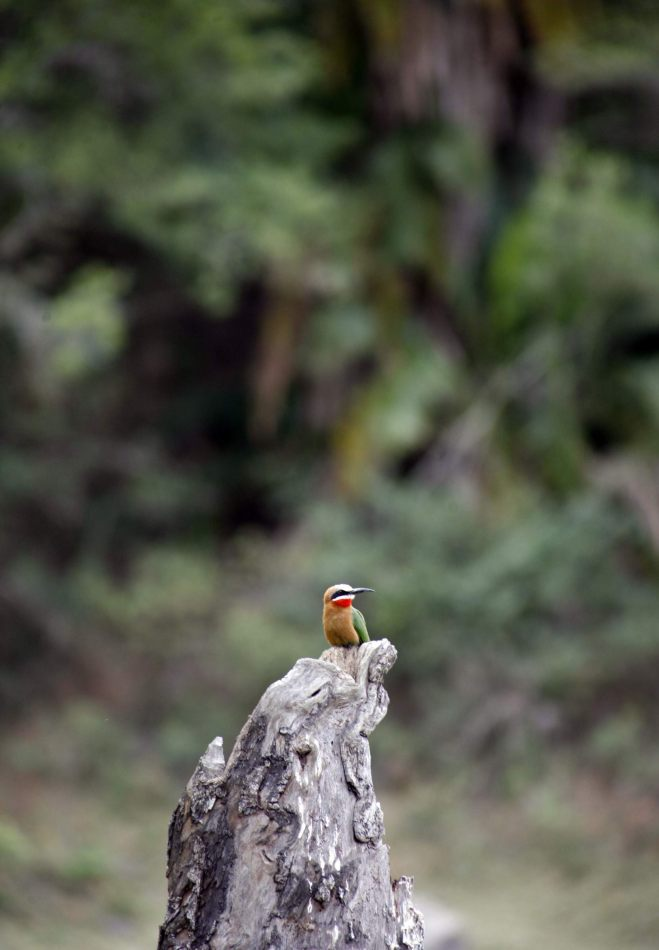 Anthony Ellis Photography: Mzungu - White-Fronted Bee-Eater