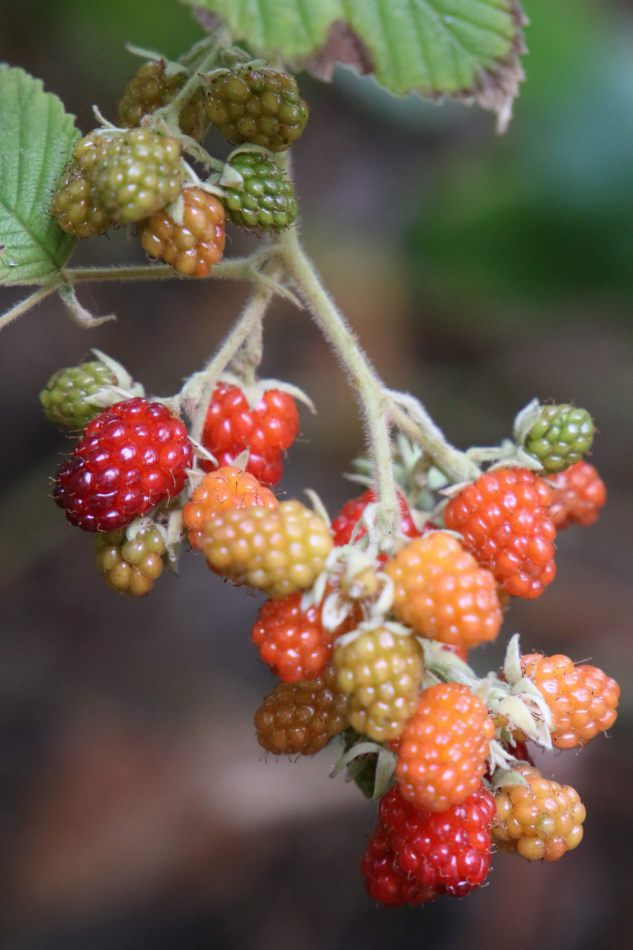 Anthony Ellis Photography: Mzungu - Wild Rasberries