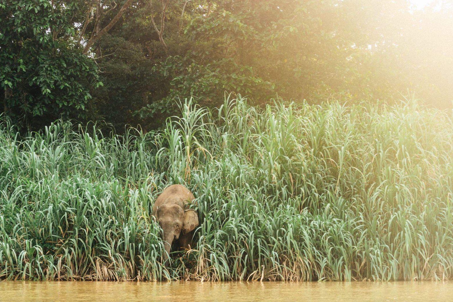 Borneo Zwergelefanten am Sungai Kinabatangan