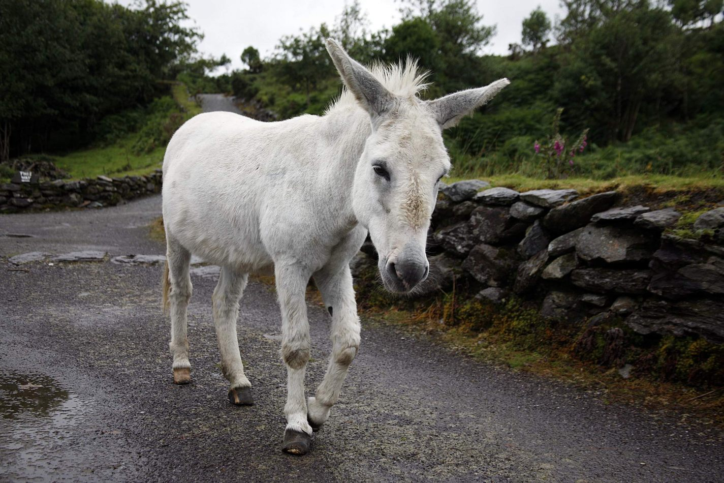 Anthony Ellis Photography: Eidirsgan - The White Donkey
