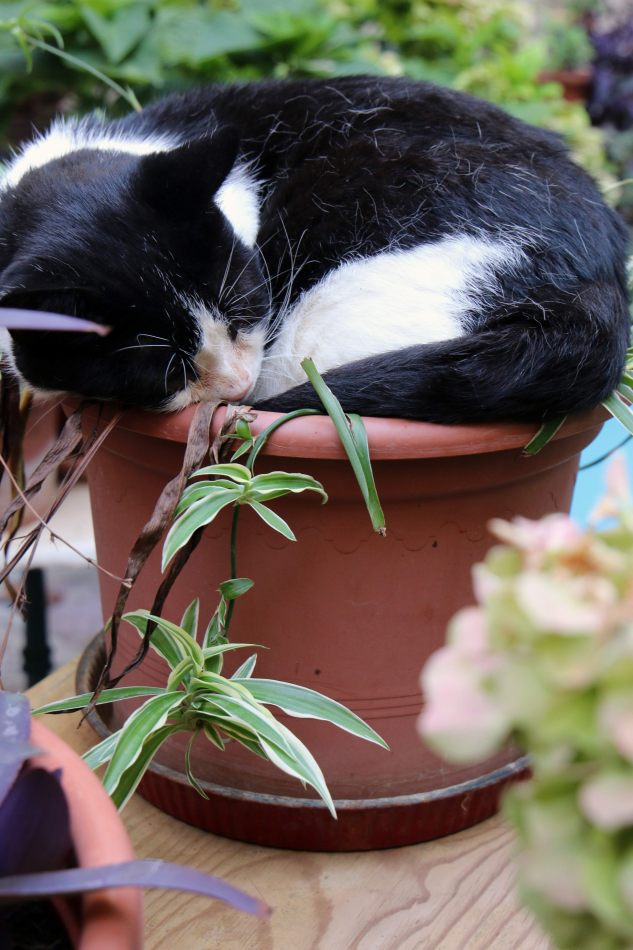 Anthony Ellis Photography: Pine Needles and Broken Tiles - Cat Sleeping in a Flowerpot