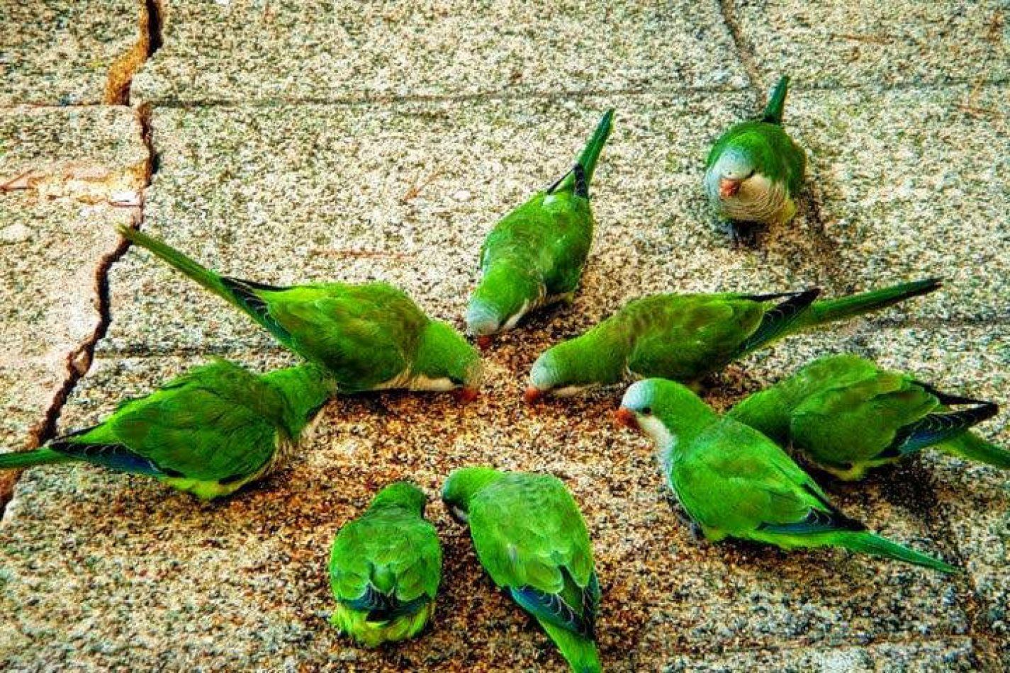 Hibiscus & Nomada : Palma de Mallorca - Monk Parakeets