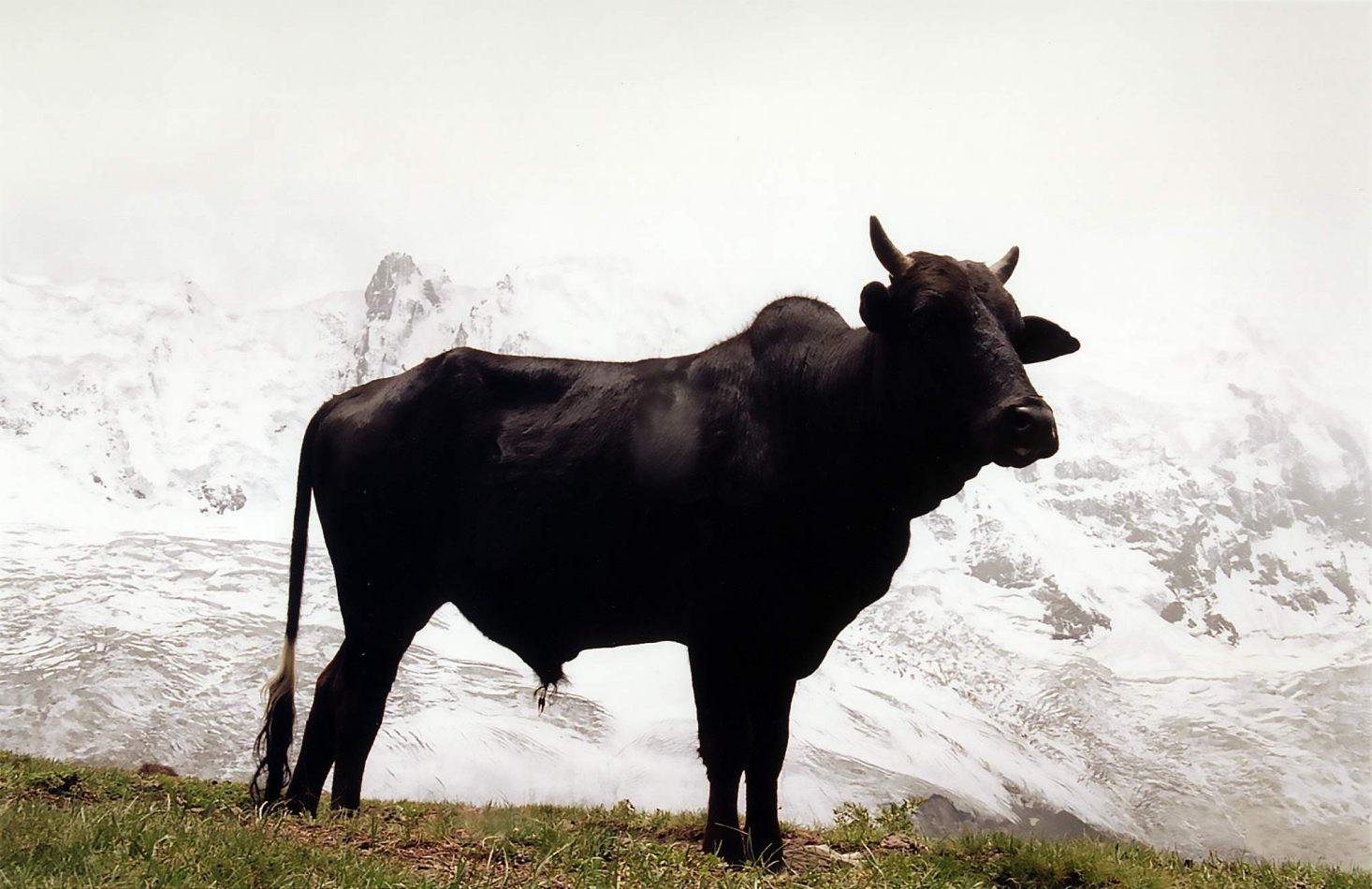 Anthony Ellis Photography: Zindabad - Black Bull