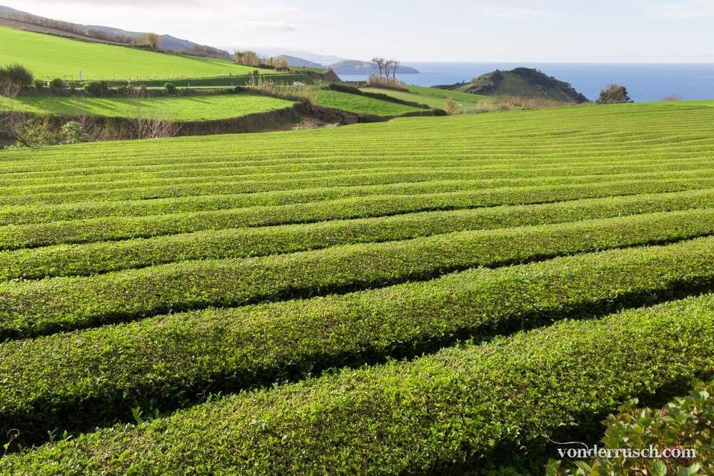 Green Tea Plantation     Sa�  Miguel Island Azores