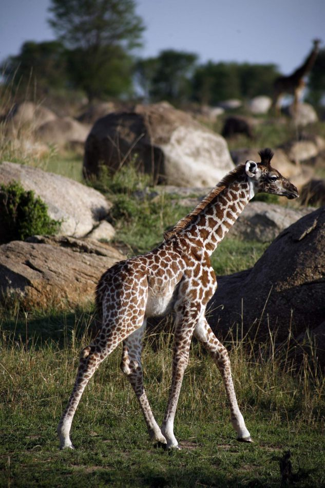 Anthony Ellis Photography: Mzungu - Baby Giraffe