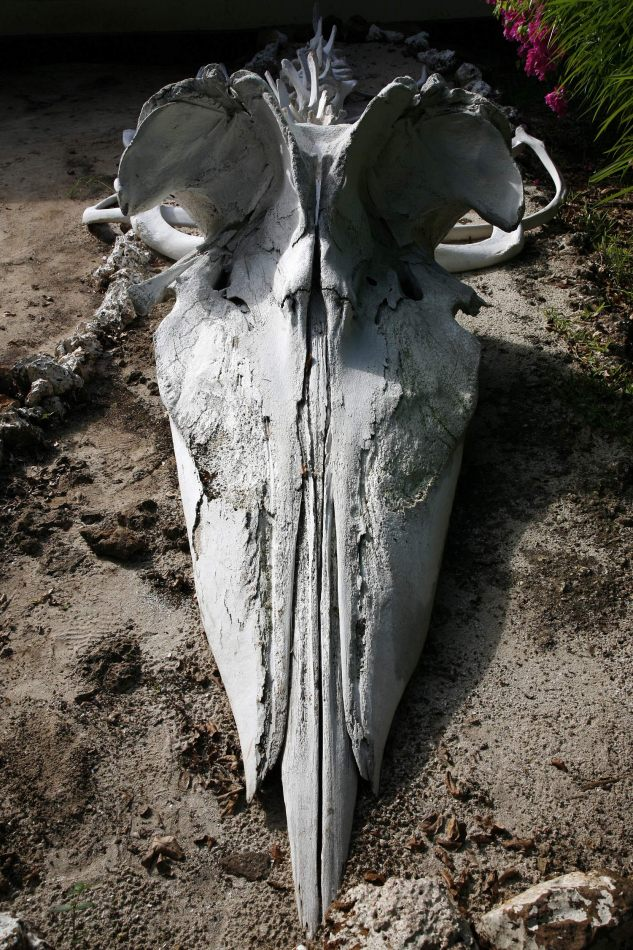 Anthony Ellis Photography: Luga Moja Haitoshi - Whale Skull
