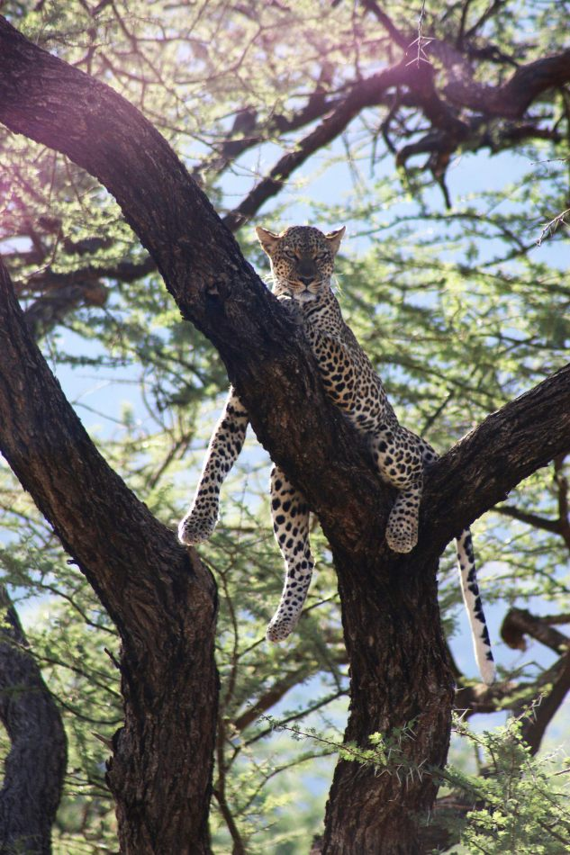 Anthony Ellis Photography: Luga Moja Haitoshi - Leopard in a Tree
