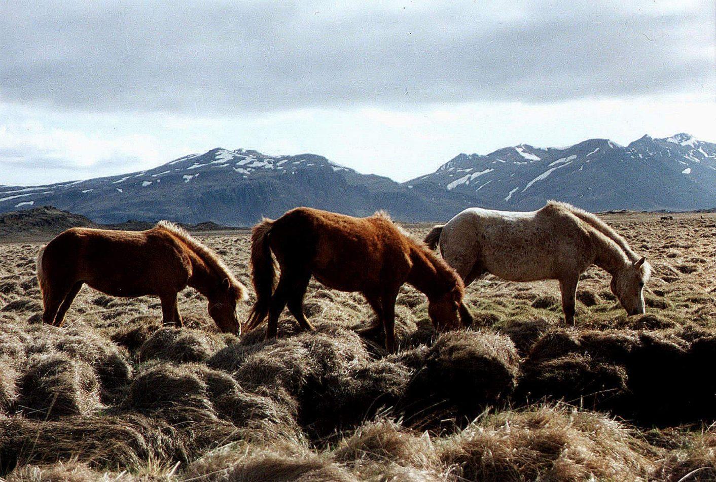 Anthony Ellis Photography: From the North - Icelandic Horses