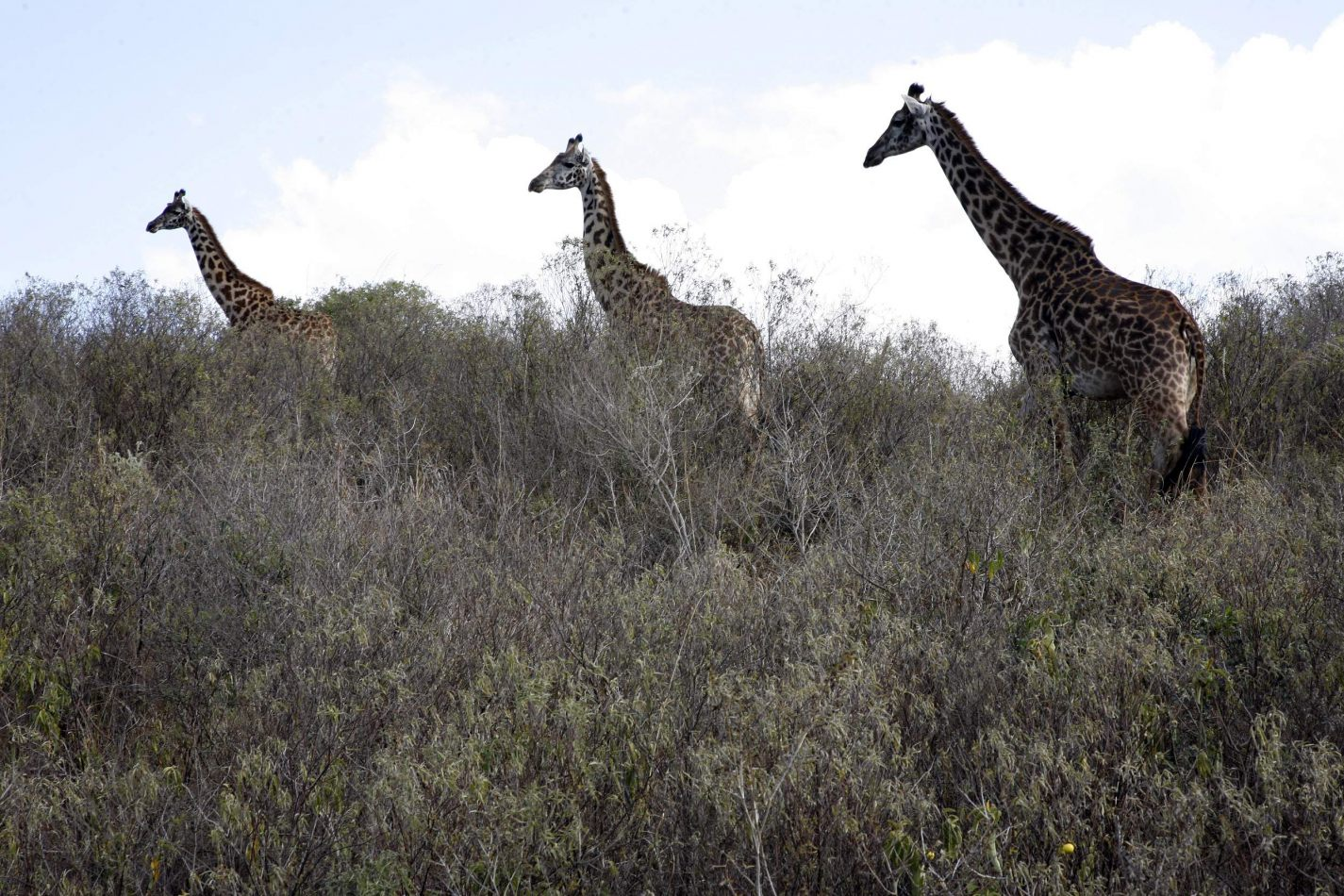 Anthony Ellis Photography: Mzungu - Three Giraffes