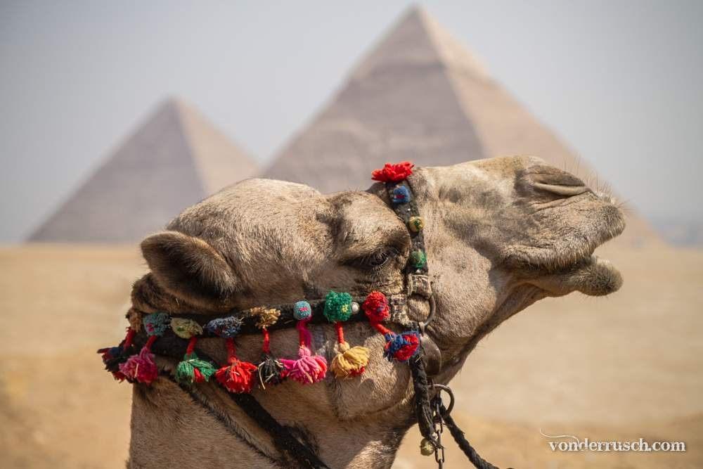 Charlie the Camel     Giza Egypt