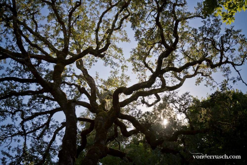 Tree Cover     Napa Valley USA