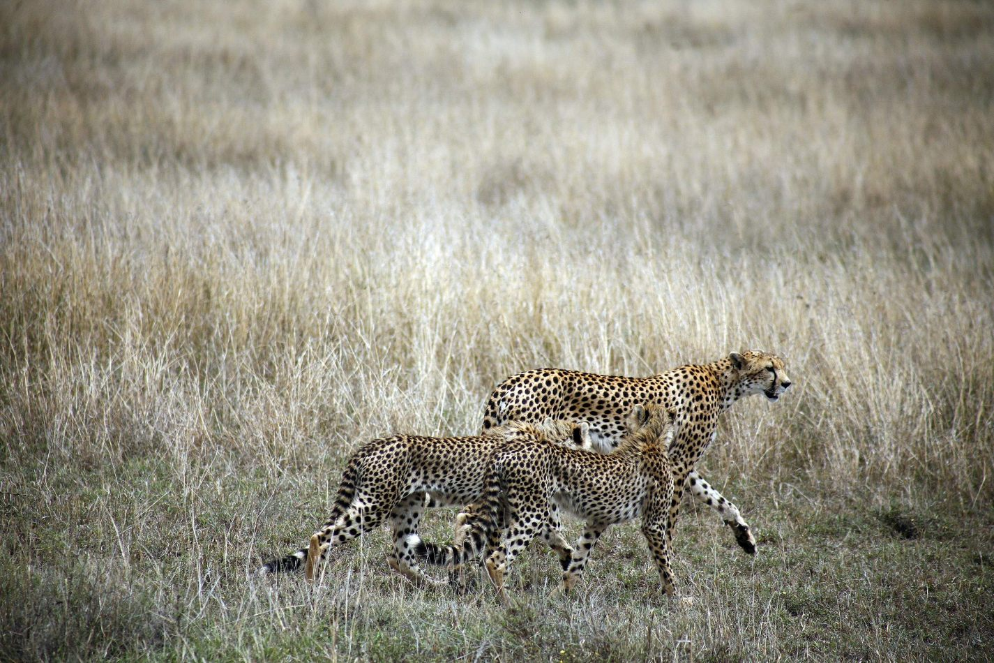 Anthony Ellis Photography: Mzungu - Cheetah and Cubs