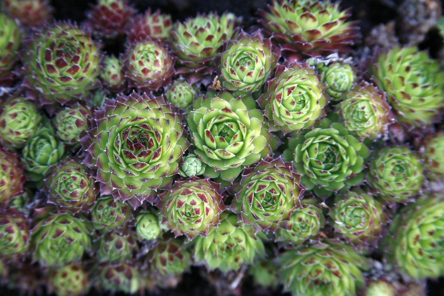 Anthony Ellis Photography: Silent Afternoons - Sempervivum