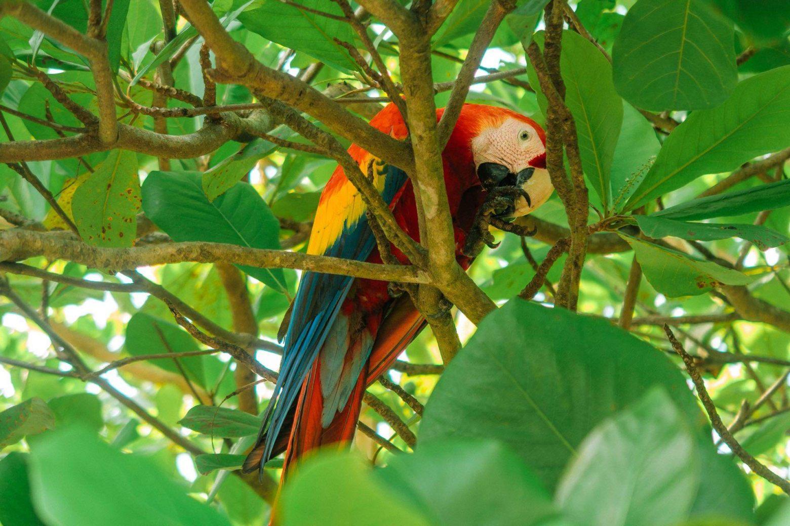 Papagei beim Corcovado Nationalpark