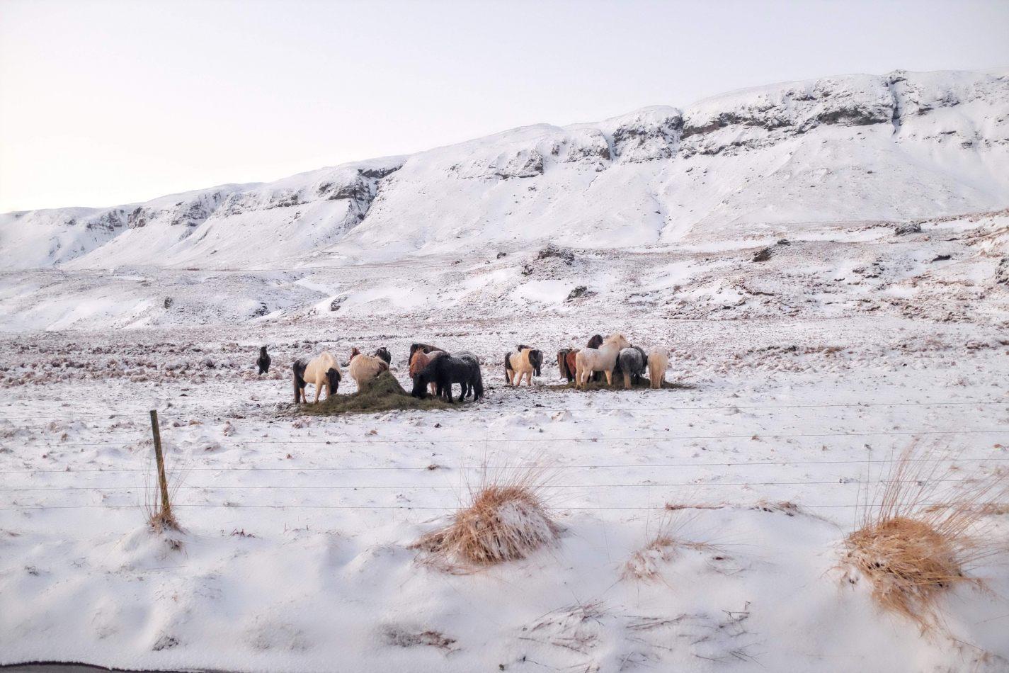 Hibiscus & Nomada : - - Icelandic Horses