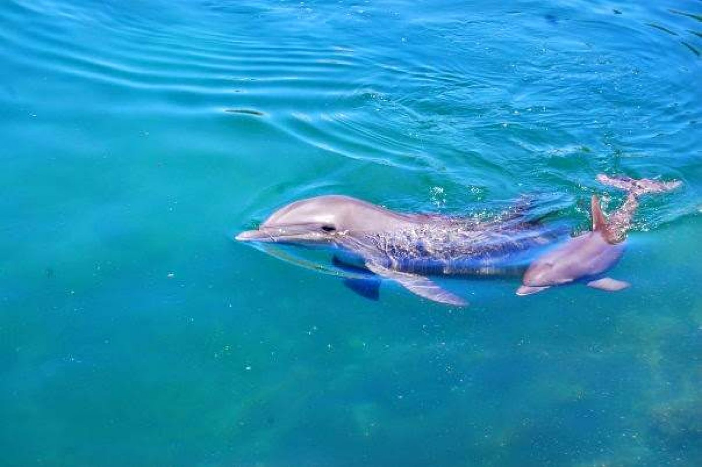 Hibiscus & Nomada : - - Dolphins